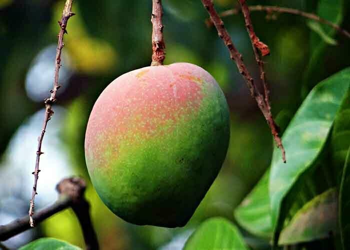 mango fruits benefits