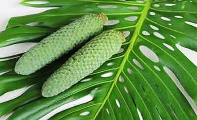 monstera deliciosa fruit